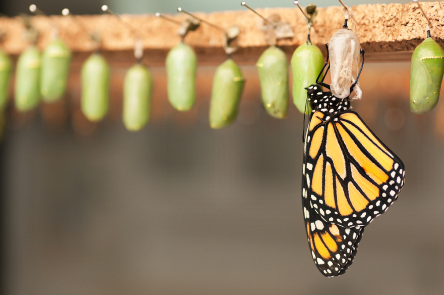 newborn butterfly and green cocoons